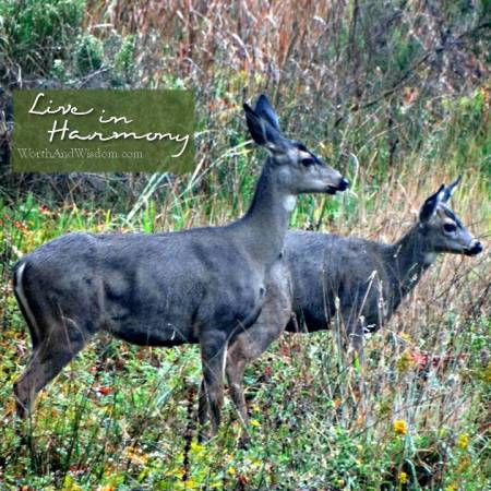 harmony deer